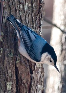 White-Breasted Nuthatch-600