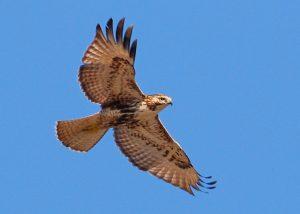 red-tail hawk-600